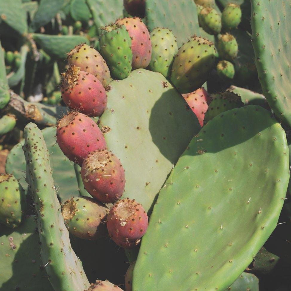 img-power-plant-opuntia-ficusindica@2x