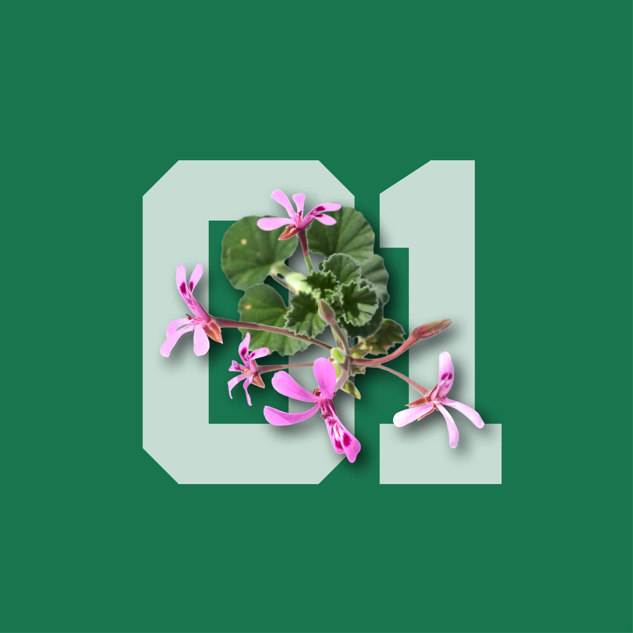 01-pelargonium(1)